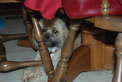 Bailey under table