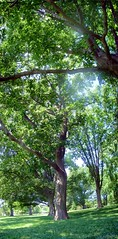 park Stitch (ukweli) Tags: panorama kansascity loosepark mapletrees verticalstitch ilovelookingattreesfromunderneath