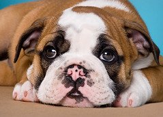 Puppies are from heaven (4) (Piotr Organa) Tags: portrait dog pet toronto canada cute face animal puppy bulldog flickrsbest abigfave aplusphoto sunnysideoflife pet500 pet1000 pet2000 pet1500 flickrlovers