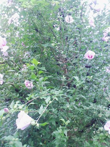 むくげの木のカブト虫たち