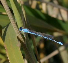 Damselfly (dot65) Tags: blue nature beautiful insect wildlife vivid tiny arkansas roadside dslr delicate damselfly brightlycolored populationexplosion canonxti
