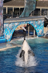 Rise To The Top (Randy Shelton) Tags: ocean california sea nature water sandiego h2o killer orca seaworld shamu killerwhale themepark wale bushgardens