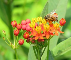 Get Your Buzz On (Cher12861 (Cheryl Kelly on ipernity)) Tags: flowers summer orange green yellow closeup buzz wings bokeh background blurred bee buds striped blooming butterflyweed unopened