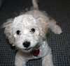 Dinky at four months (Graustark) Tags: dog pet white puppy dinky ratapoo ratoodle ratterrierpoodlemix
