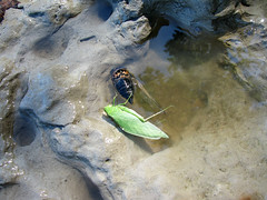 Romeo et Juliet (zxgirl) Tags: water cicada md maryland katydid chesapeake chesapeakebay s5 bayfrontpark browniesbeach randlecliff img2676r