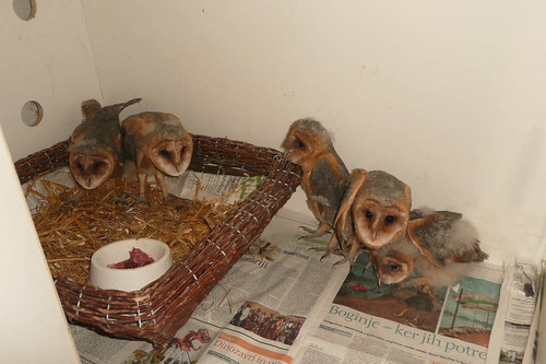Young owls