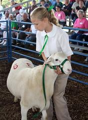 Purebred sheep