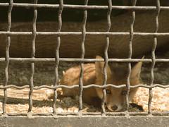 Kyiv zoo. Fox-cub