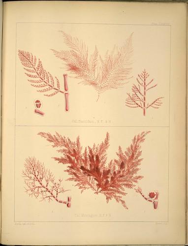 Cal. flaccidium + montagnei
