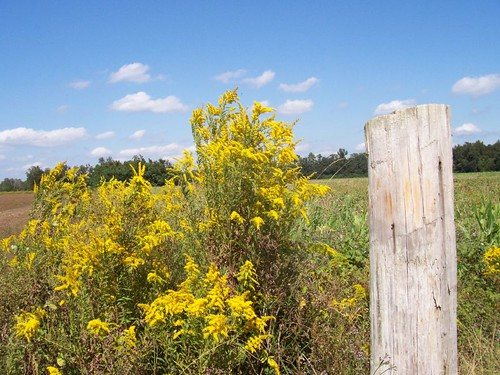 Goldenrod by a fencepost