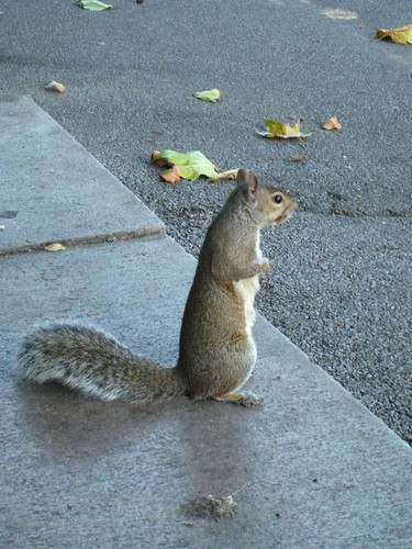 Squirrel - Lincoln's Fields
