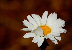 Marguerite (Jason Dinh Ba Thanh) Tags: california flower photography us arboretum wwdc ucdavis nikond40