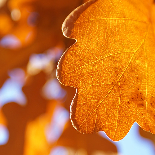 Oak leaf in morning light