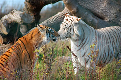Tigerkiss (ingelisesoerensen) Tags: cats animal animals cat zoo tiger tigers whitetiger zooanimals naestved itsazoooutthere naestvedzoo flickrbigcats 191008nstvedzoo