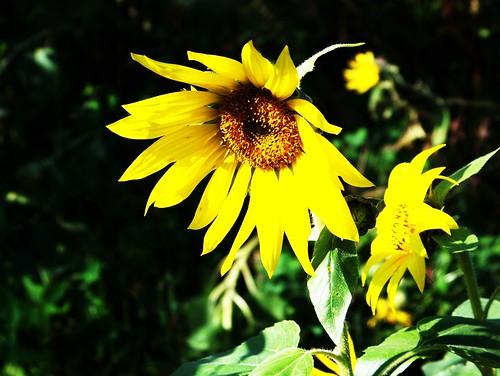 Gorgeous sunflower