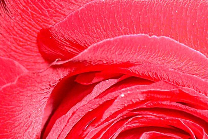 rose-cu-70571