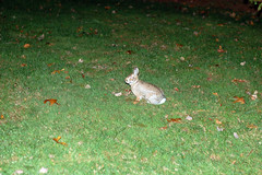 Bunny in our lawn that looks like Twinkle Vegas, the wild school bunny