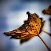 Az elsárgult levél (Balázs B.) Tags: autumn sky fall yellow canon leaf fourseasons ég sárga kék levél canonef24105mmf4lisusm 40d tkgroup blueősz