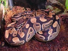 Lucy, female Ball python (Python regius)