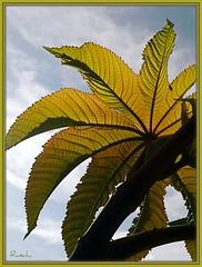 Leaf of a castor-oil plant (ruschi_e) Tags: schweiz switzerland leaf blatt rizinus naturesfinest castoroilplant supershot bej abigfave anawesomeshot ultimateshot citrit natureselegantshots multimegashot ruschie kunstplatzlinternational artofimages
