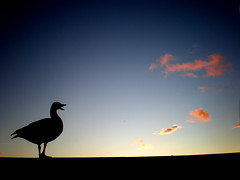 Calling for someone (Eln Elsabet) Tags: sunset pond goose calling reykjavk tjrnin gs thewonderfulworldofbirds