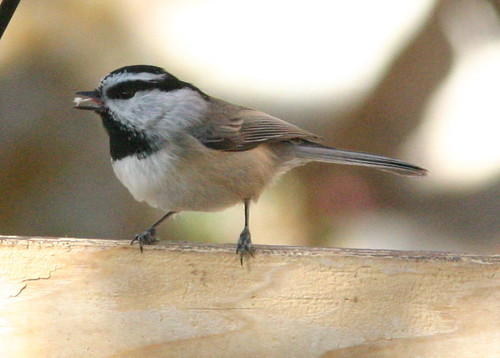 Mountain Chickadee Feeding (Poecile gambeli)