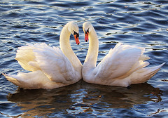 Romance in Vltava (Edgar Barany) Tags: bridge bird castle birds swan czech prague praha romance mating czechrepublic romantic vltava hrad ceskarepublika praguecastle mesto barany prazkyhrad praguebridge edgarbarany