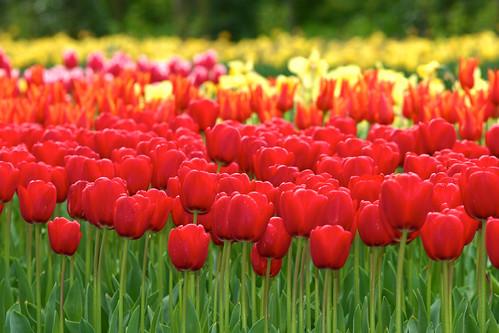 Tulip garden in keukenhof holland by BSKaran