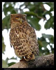 Brown Fish Owl (avanindrareddy) Tags: india birds wildlife tadoba ketupazeylonensis ketupa zeylonensis avanindra