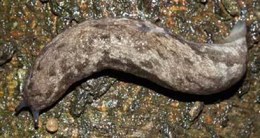 MegapalliferaMutabilis