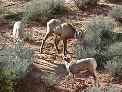 Desert Bighorn Sheep (Robinsegg) Tags: utah arches archesnationalpark desertbighornsheep nelsonsbighornsheep
