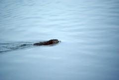 Beaver Swim