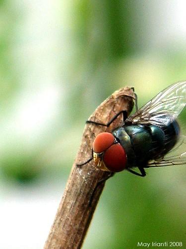 mae-flies4