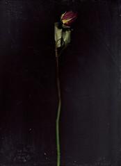 scanned rose (hool a hoop) Tags: