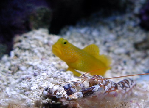 goby fish and blind shrimp symbiotic relationship activities