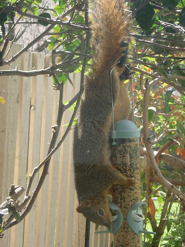 1squirrel at feeder karen turnbull hayward