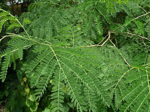 Lá Keo Giậu, Bình Linh..Leucaena leucocephala  họ đậu  Fabaceae