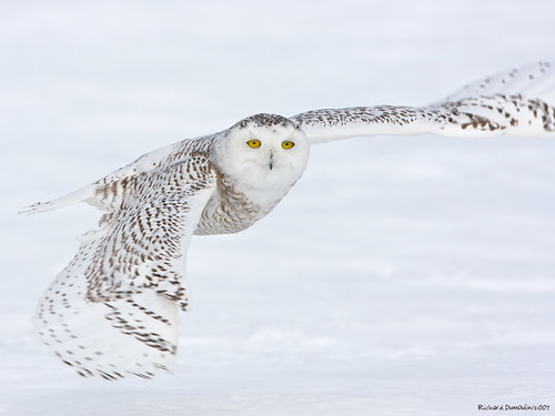 Snowy owl -look at me- in flight by RichardDumoulin.