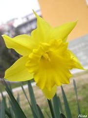 Narciso giallo (*Alisea) Tags: giallo fiore narciso
