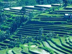 Jatiluwih: Rice Terraces (BALIwww.com) Tags: bali rice terraces unesco worldheritage batukaru jatiluwih tabanan dewisri wongayagede