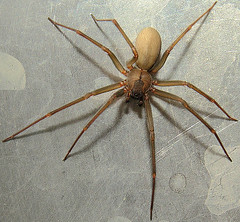 Brown Recluse Spider (NatureNM) Tags: spider arkansas newtoncounty brownrecluse reclusa loxosceles
