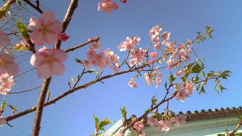 CherryBlossom@912SH2