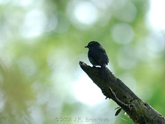 Dusky-Blue Flycatcher (Makgobokgobo) Tags: africa bird uganda flycatcher muscicapa kibale kibaleforest bigodi kibaleforestnationalpark fbwnewbird fbwadded kfnp bigodiwetlandsanctuary duskyblueflycatcher muscicapacomitata