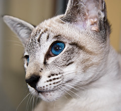 **Blue eyes** (Chrissie64) Tags: portrait pet cute beautiful face animal closeup cat mammal eyes furry kitten feline flickr sweet blueeyes siamese stare hiro gaze puss pedigree supershot bluepointsiamese kissablekat bestofcats digitalphotoexposition modernsiamese