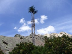 Isla del Sol arbre