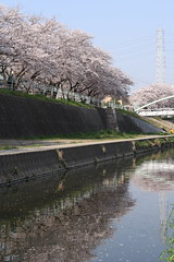 Cherry blossoms of Kanare river
