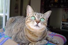 I love her eyes (Mel1st) Tags: cat kat chat gata neko katze macska kot kats kedi koshka katt kato kissa kon florzinha meo ronronovisky paka kocka fato macka feles pussi negru chatul popoki qit kutjing miston maaoh mist