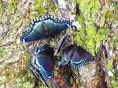 Butterflies (sylkky2) Tags: tree nature butterflies insects bugs sensational six