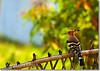 Eurasian Hoopoe (Shabbir Ferdous) Tags: bird photographer bangladesh upupaepops bangladeshi wiedehopf upupidae hoopoes khagrachari canoneosrebelxti birdsofbangladesh shabbirferdous sigmazoomtelephoto70300mmf456apodgmacro wwwshabbirferdouscom shabbirferdouscom