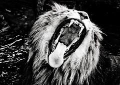 [フリー画像] [動物写真] [哺乳類] [ネコ科] [ライオン] [欠伸/あくび] [叫ぶ] [モノクロ写真]    [フリー素材]